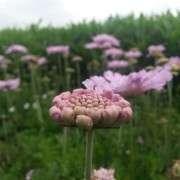 Shanna   Flower
