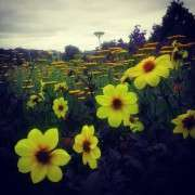Venina   Flower